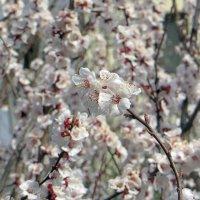 Когда цветут деревья :: Наталья Джикидзе (Берёзина)