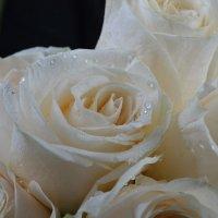 розы :: Татьяна Малафеева