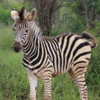 Детеныш зебры :: Julia A