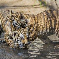 Тигрята :: Nn semonov_nn