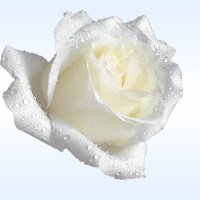 Белая красавица :: Светлана