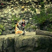 Амурский тигр :: Алексей A