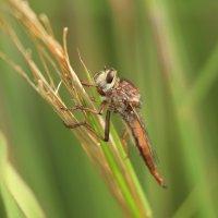 не то стрекоза не то муха и не бабочка гибрид какой то :: Naum