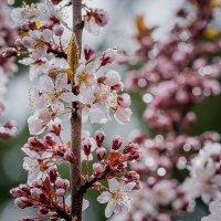 Слива в цвету :: Alena Nuke