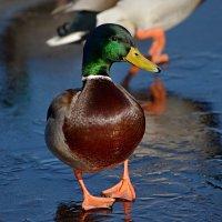 утка на льду :: linnud