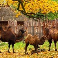 Двугорбые верблюды :: Сергей Карачин