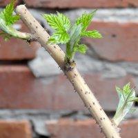Малина в марте... :: Тамара (st.tamara)