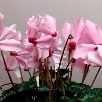 Будто бабочки цветут! :: Наталья