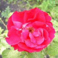 Роза :: Павел Н