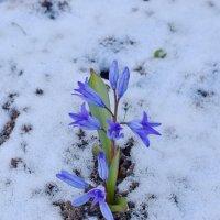 Выстояли и в снег, и в заморозки! :: Татьяна Помогалова