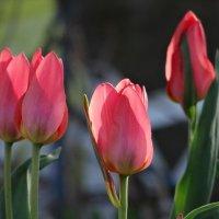Тюльпаны 7 :: Алексей Цветков