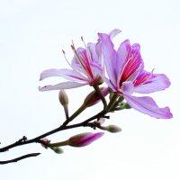 Орхидейное дерево :: Александр Деревяшкин