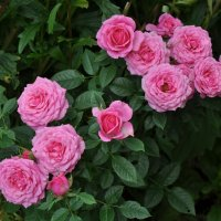 августовские розы :: vg154