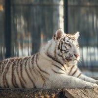 Белый тигр. :: Виктор Шпаков