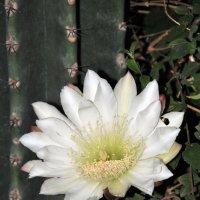 Цветок кактуса :: Валерий Подорожный
