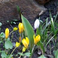 Жёлтые крокусы... :: Тамара (st.tamara)