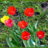Цветы весны... :: Светлана Петошина