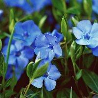 Синие цветочки :: Валерий Живило