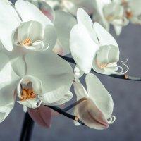 Орхидеи :: Dashiki