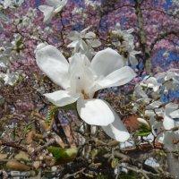 """""""...Как сердце тронуто, весны цветеньем ..."""" :: Galina Dzubina"""