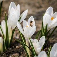 Пчела , крокусы , весна. :: Владимир M