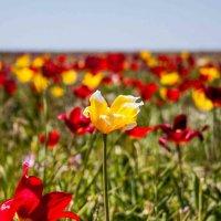 ковер из тюльпанов :: Михаил