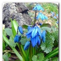 Первые цветы. :: Чария Зоя