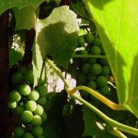 Зелёный виноград. :: Мила Бовкун