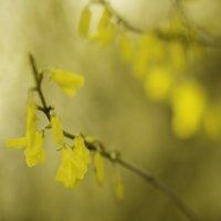 Лимонный цвет в весеннем саду. :: Иван Лазаренко
