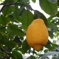 Ботанический сад Санкт-Петербурга. Огромный лимон. :: Лариса (Phinikia) Двойникова