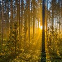 Туманный рассвет в сосновом бору. :: Фёдор. Лашков