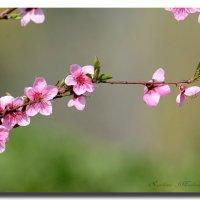 Весна украшает землю. :: Светлана Ивановна Медведева