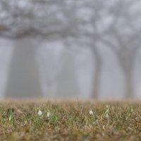 Подснежники и туман.... :: Валерия заноска