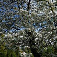 Пора цветения :: Алёна Савина