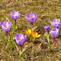 Первые цветы. :: Олег Попков