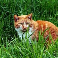 Рыжик в траве :: Alexander Andronik