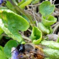пчелки на фиалках :: Марина