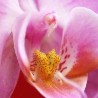 Горлышко орхидеи :: Alexander Andronik