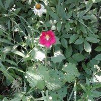 Мальва и садовые ромашки :: Дмитрий Никитин
