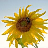 Солнечный цветок :: Leonid Rutov