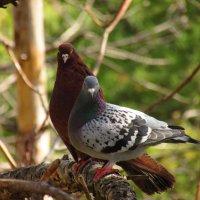 Крымские дикие голуби :: Екатерина Тайлер