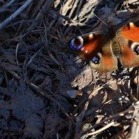 Весенняя бабочка :: Вера Андреева