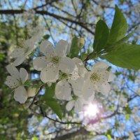 Вишня в цвету :: Яна Чепик