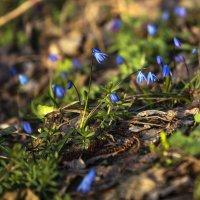 Весенние первоцветы :: Юрий Клишин