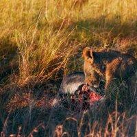 После охоты...саванна...Танзания! :: Александр Вивчарик