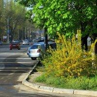 Форзиция у перекрёстка :: Татьяна Смоляниченко