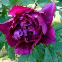 Пион - императорский цветок :: Елена Павлова (Смолова)