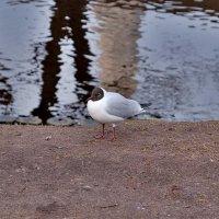 Озерная чайка у канала :: Swetlana V