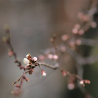 Расцветают абрикосы. :: Юрий Гайворонский