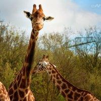 Весёлый жираф :: Татьяна Каримова